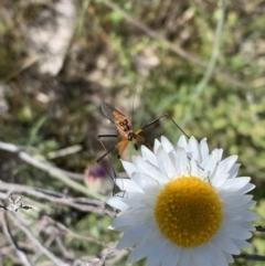 Harpobittacus australis (Hangingfly) at Mount Majura - 17 Oct 2021 by BronClarke