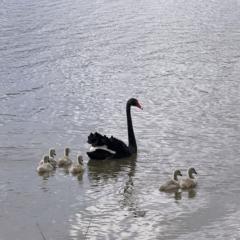 Cygnus atratus (Black Swan) at Greenway, ACT - 30 Sep 2021 by dhaagun
