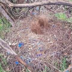 Ptilonorhynchus violaceus (Satin Bowerbird) at Uriarra Village, ACT - 15 Oct 2021 by jeremyahagan