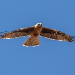 Hieraaetus morphnoides (Little Eagle) at Adaminaby, NSW - 16 Oct 2021 by rawshorty