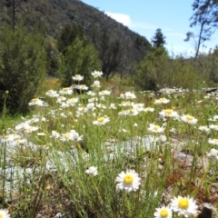Rhodanthe anthemoides (Chamomile Sunray) at Stromlo, ACT - 17 Oct 2021 by HelenCross