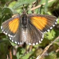 Lucia limbaria (Chequered Copper) at Fadden, ACT - 17 Oct 2021 by RAllen