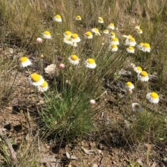 Leucochrysum albicans subsp. tricolor (Hoary Sunray) at Fadden, ACT - 18 Oct 2021 by BruceG