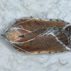 Arachnographa micrastrella (A concealer moth) at Ainslie, ACT - 13 Oct 2021 by jbromilow50