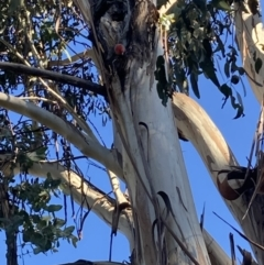 Callocephalon fimbriatum (Gang-gang Cockatoo) at Garran, ACT - 17 Oct 2021 by ianmigdale