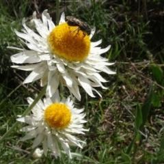 Lasioglossum (Chilalictus) sp. (genus & subgenus) (Halictid bee) at Bruce, ACT - 16 Oct 2021 by AndyRussell