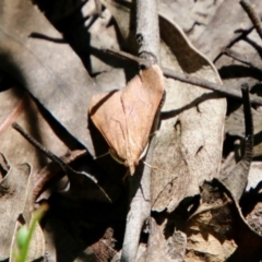 Uresiphita ornithopteralis (Tree Lucerne Moth) at Hughes, ACT - 17 Oct 2021 by LisaH
