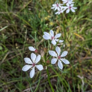 Burchardia umbellata (Milkmaids) at Glenroy, NSW by Darcy