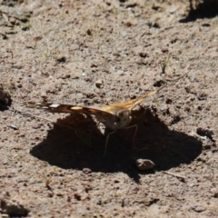 Vanessa kershawi (Australian Painted Lady) at Farrer, ACT - 16 Oct 2021 by Tammy