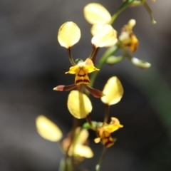 Diuris sp. (A donkey orchid) at Stromlo, ACT - 17 Oct 2021 by LisaH