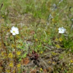 Drosera hookeri (Grassland Sundew, Pale Sundew) at Throsby, ACT - 17 Oct 2021 by byomonkey
