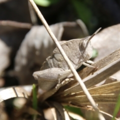 Goniaea sp. (genus) (TBC) at Stromlo, ACT - 17 Oct 2021 by LisaH