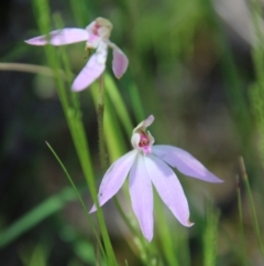 Caladenia carnea (Pink fingers) at Stromlo, ACT - 17 Oct 2021 by LisaH