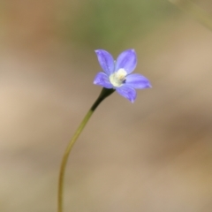 Wahlenbergia graniticola (TBC) at Stromlo, ACT - 17 Oct 2021 by LisaH