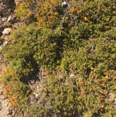 Dillwynia prostrata (Matted parrot-pea) at Mount Clear, ACT - 16 Oct 2021 by Ned_Johnston