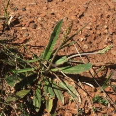 Plantago varia (Native Plaintain) at Mount Clear, ACT - 16 Oct 2021 by Ned_Johnston