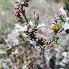 Brachyloma daphnoides (Daphne Heath) at Mount Majura - 17 Oct 2021 by danswell