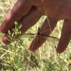 Leptotarsus (Macromastix) sp. (genus & subgenus) (Unidentified Macromastix crane fly) at Paddys River, ACT - 17 Oct 2021 by GG