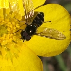Unidentified Hover fly (Syrphidae) (TBC) at Mount Clear, ACT - 17 Oct 2021 by Ned_Johnston