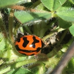 Coccinella transversalis (Transverse Ladybird) at Mount Clear, ACT - 17 Oct 2021 by Ned_Johnston