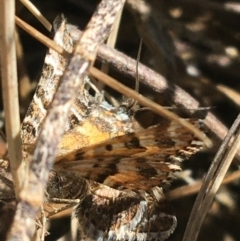 Chrysolarentia chrysocyma (TBC) at Mount Clear, ACT - 17 Oct 2021 by Ned_Johnston