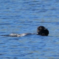 Biziura lobata (Musk Duck) at Woodhouselee, NSW - 17 Oct 2021 by Steve_Bok