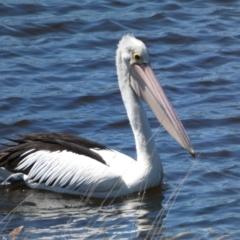 Pelecanus conspicillatus (Australian Pelican) at Pejar, NSW - 17 Oct 2021 by Steve_Bok