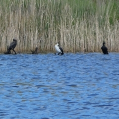 Microcarbo melanoleucos (Little Pied Cormorant) at Woodhouselee, NSW - 17 Oct 2021 by Steve_Bok
