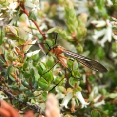 Harpobittacus australis (Hangingfly) at Kambah, ACT - 15 Oct 2021 by MatthewFrawley