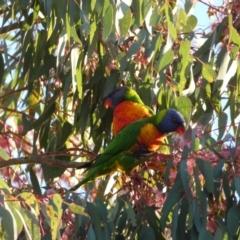 Trichoglossus moluccanus (Rainbow Lorikeet) at Jerrabomberra, NSW - 16 Oct 2021 by Steve_Bok