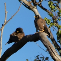 Acridotheres tristis (Common Myna) at Jerrabomberra, NSW - 16 Oct 2021 by Steve_Bok