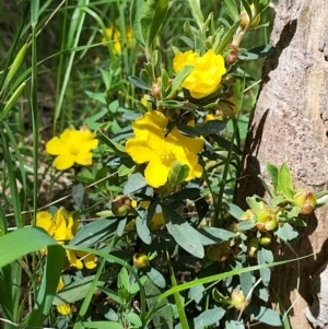 Hibbertia obtusifolia (Grey Guinea-flower) at West Wodonga, VIC by erika