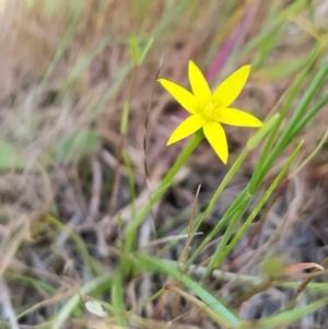 Pauridia vaginata (Yellow Star) at West Wodonga, VIC by erika