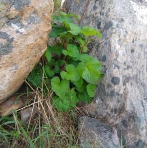 Pelargonium australe (Austral Stork's-bill) at West Wodonga, VIC by erika