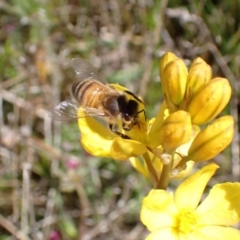 Apis mellifera (European honey bee) at Jerrabomberra, ACT - 17 Oct 2021 by AnneG1