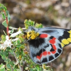 Delias harpalyce (Imperial Jezebel) at Cavan, NSW - 17 Oct 2021 by Harrisi