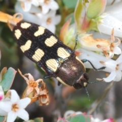 Castiarina decemmaculata (Ten-spot Jewel Beetle) at Cavan, NSW - 17 Oct 2021 by Harrisi