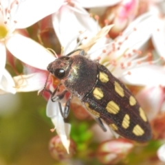 Castiarina parallela (A Jewel Beetle) at Cavan, NSW - 17 Oct 2021 by Harrisi
