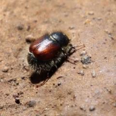 Liparetrus sp. (genus) (Chafer beetle) at Pialligo, ACT - 17 Oct 2021 by RodDeb