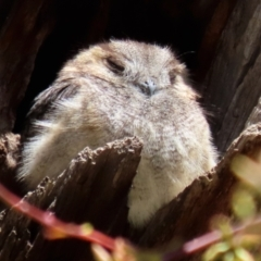 Aegotheles cristatus (Australian Owlet-nightjar) at Pialligo, ACT - 17 Oct 2021 by RodDeb
