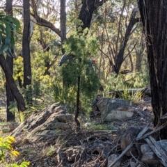 Callocephalon fimbriatum (Gang-gang Cockatoo) at Currawang, NSW - 17 Oct 2021 by camcols