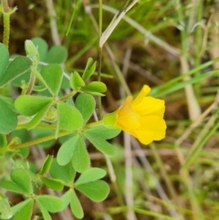 Oxalis sp. (Wood Sorrel) at Jerrabomberra, ACT - 18 Oct 2021 by Mike