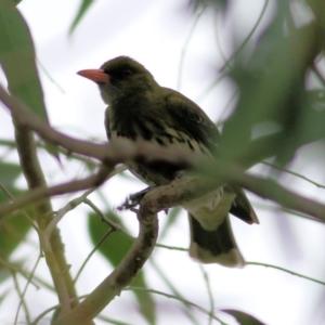 Oriolus sagittatus (Olive-backed Oriole) at Splitters Creek, NSW by KylieWaldon