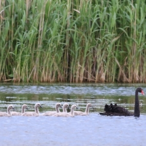 Cygnus atratus (Black Swan) at Splitters Creek, NSW by KylieWaldon