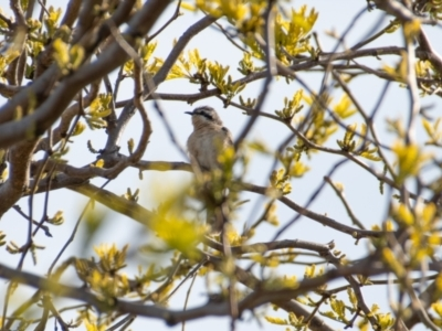 Chrysococcyx osculans (Black-eared Cuckoo) at Florey, ACT - 8 Oct 2021 by b