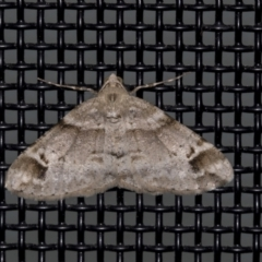 Syneora hemeropa (Ring-tipped Bark Moth) at Higgins, ACT - 16 Oct 2021 by AlisonMilton