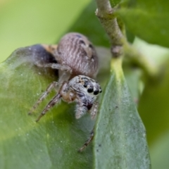 Opisthoncus grassator (Jumping spider) at Higgins, ACT - 31 Aug 2021 by AlisonMilton
