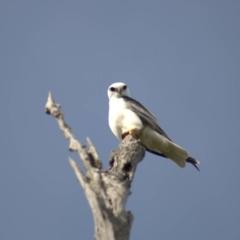 Elanus axillaris (Black-shouldered Kite) at Cook, ACT - 18 Oct 2021 by Amy