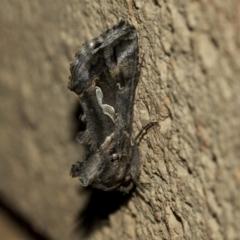 Chrysodeixis argentifera (Tobacco Looper) at Higgins, ACT - 1 Sep 2021 by AlisonMilton