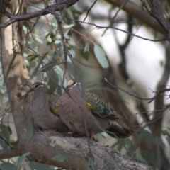 Phaps chalcoptera (Common Bronzewing) at Cook, ACT - 18 Oct 2021 by Amy